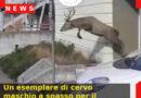 Un esemplare di cervo maschio a spasso per il centro di Segusino all'ora di pranzo